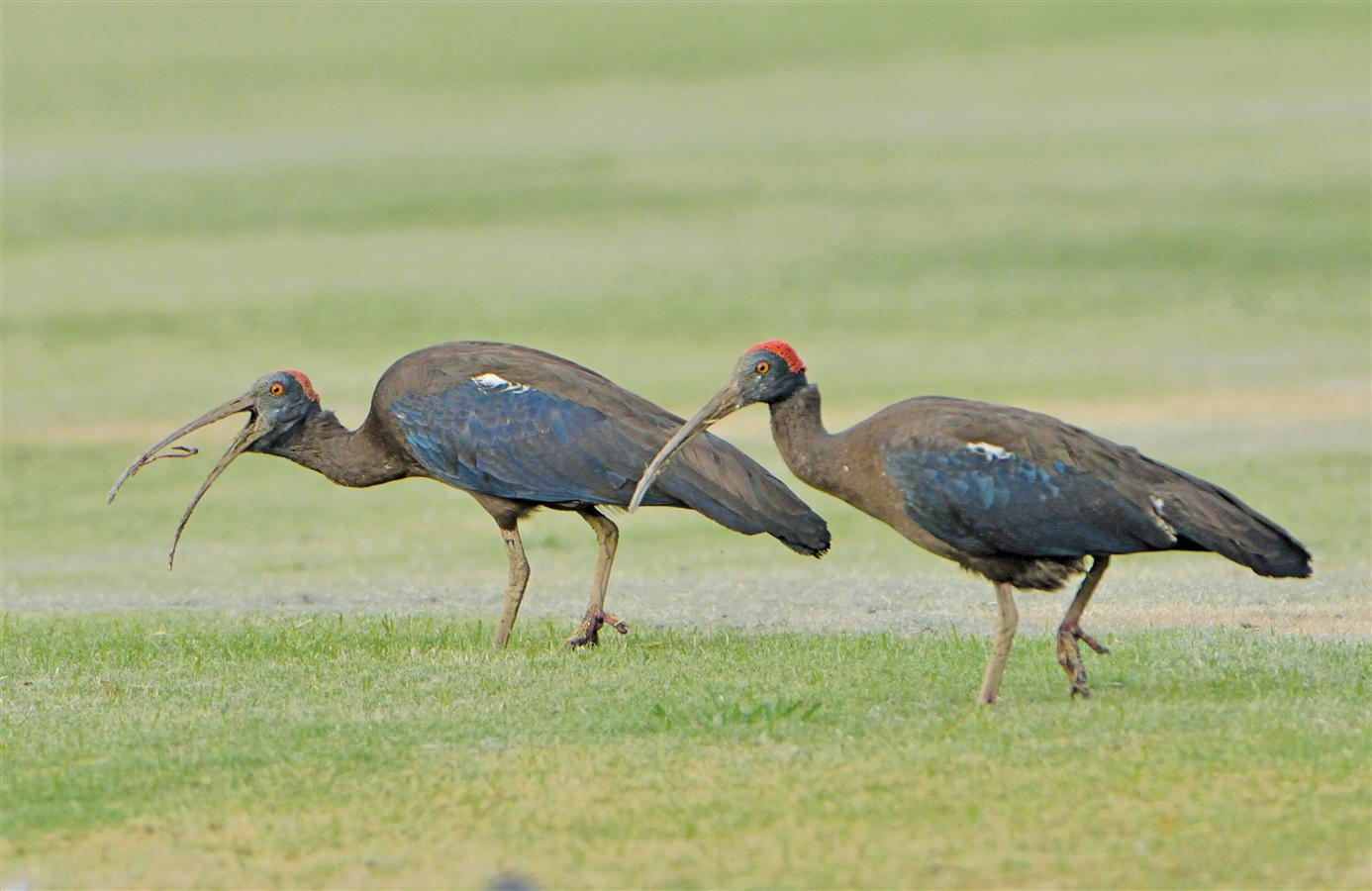They are a common sight in the vicinity of the golf and polo grounds in the President's Estate.