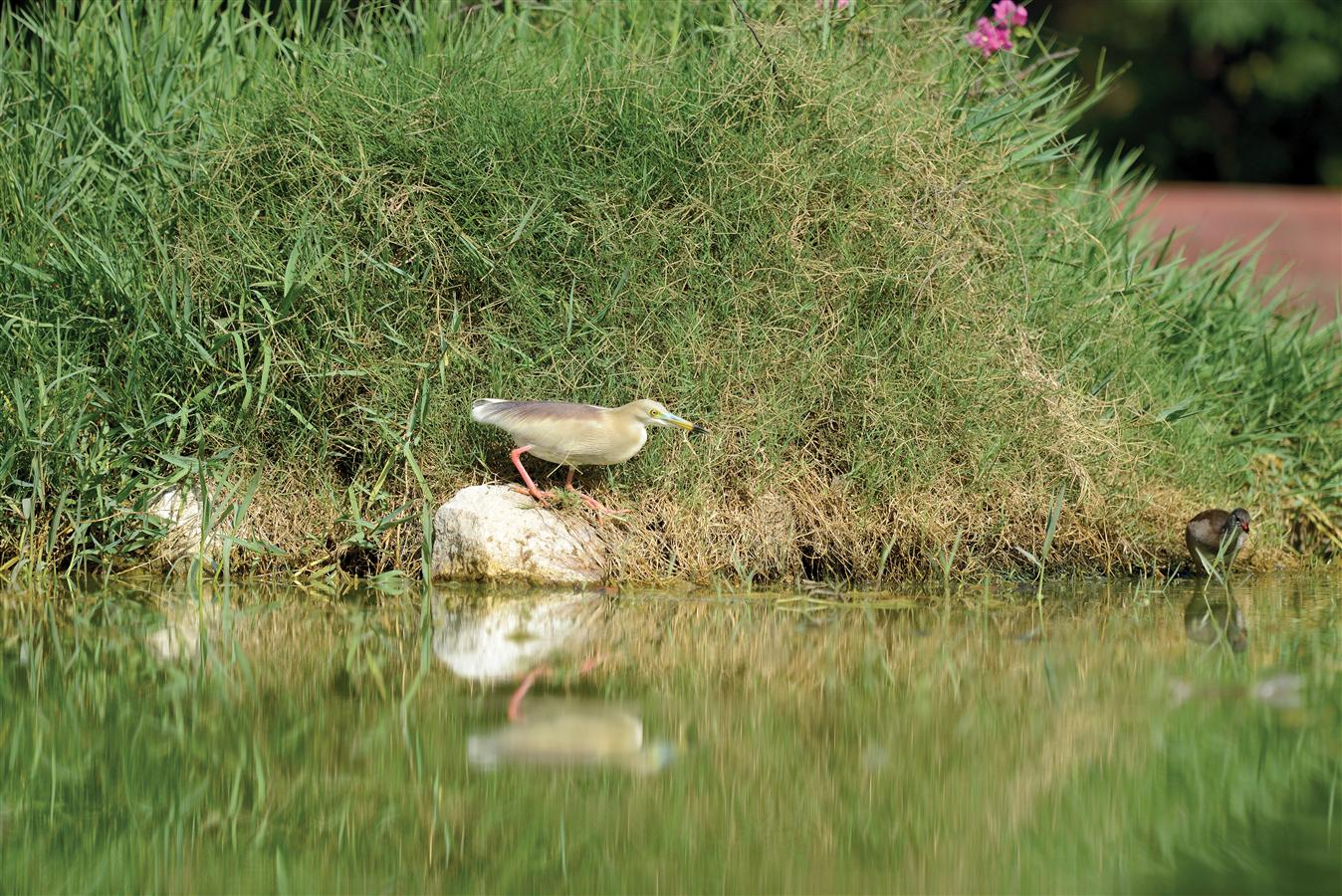 They are a common sight in the vicinity of the lake in the Dalikhana. With the introduction of fingerlings in the lake in 2013, their population has increased substantially within the Estate.
