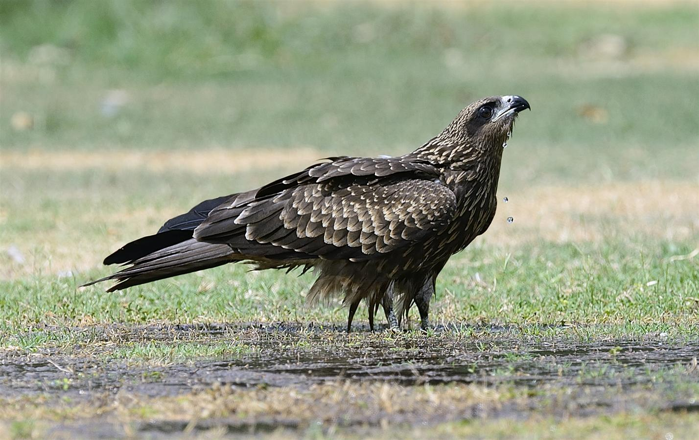 Black-eared Kites are common in the Western, central and Eastern Himalayas. In winter, migrant birds appear in North India and the Peninsula up to Karnataka and Andhra Pradesh.