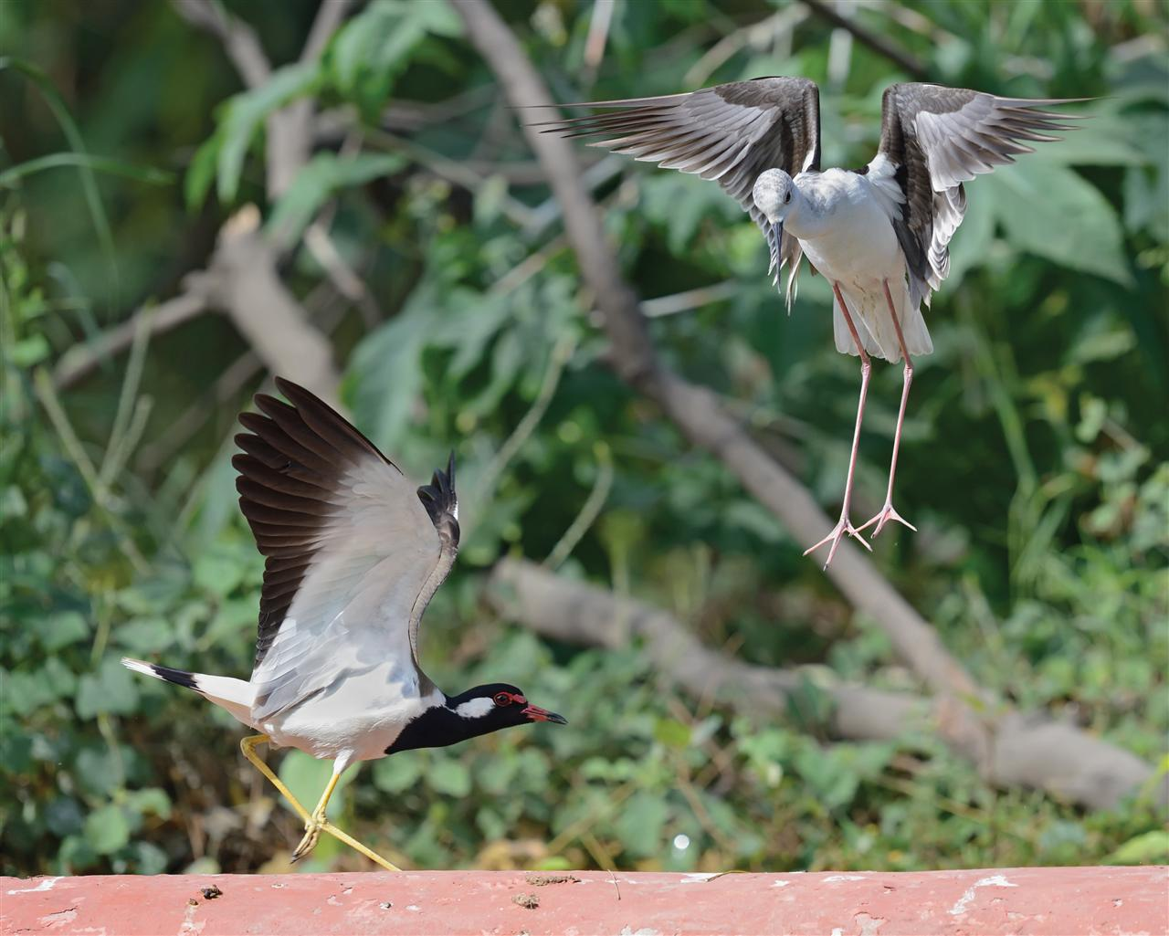 """Black-Winged Stilt"" and Red-wattled Lapwing in territorial fight."