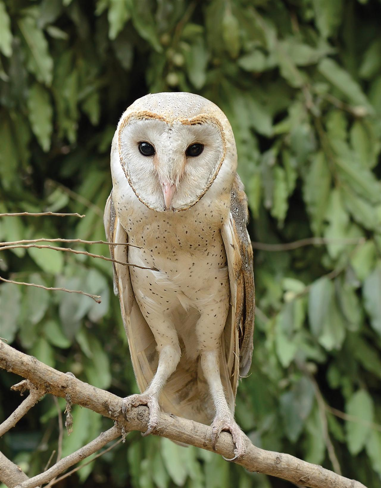 They are rare in the President's Estate. One of the owls photographed was spotted after it sought refuge under the bushes of the forest west of the Polo ground after being attacked by other birds