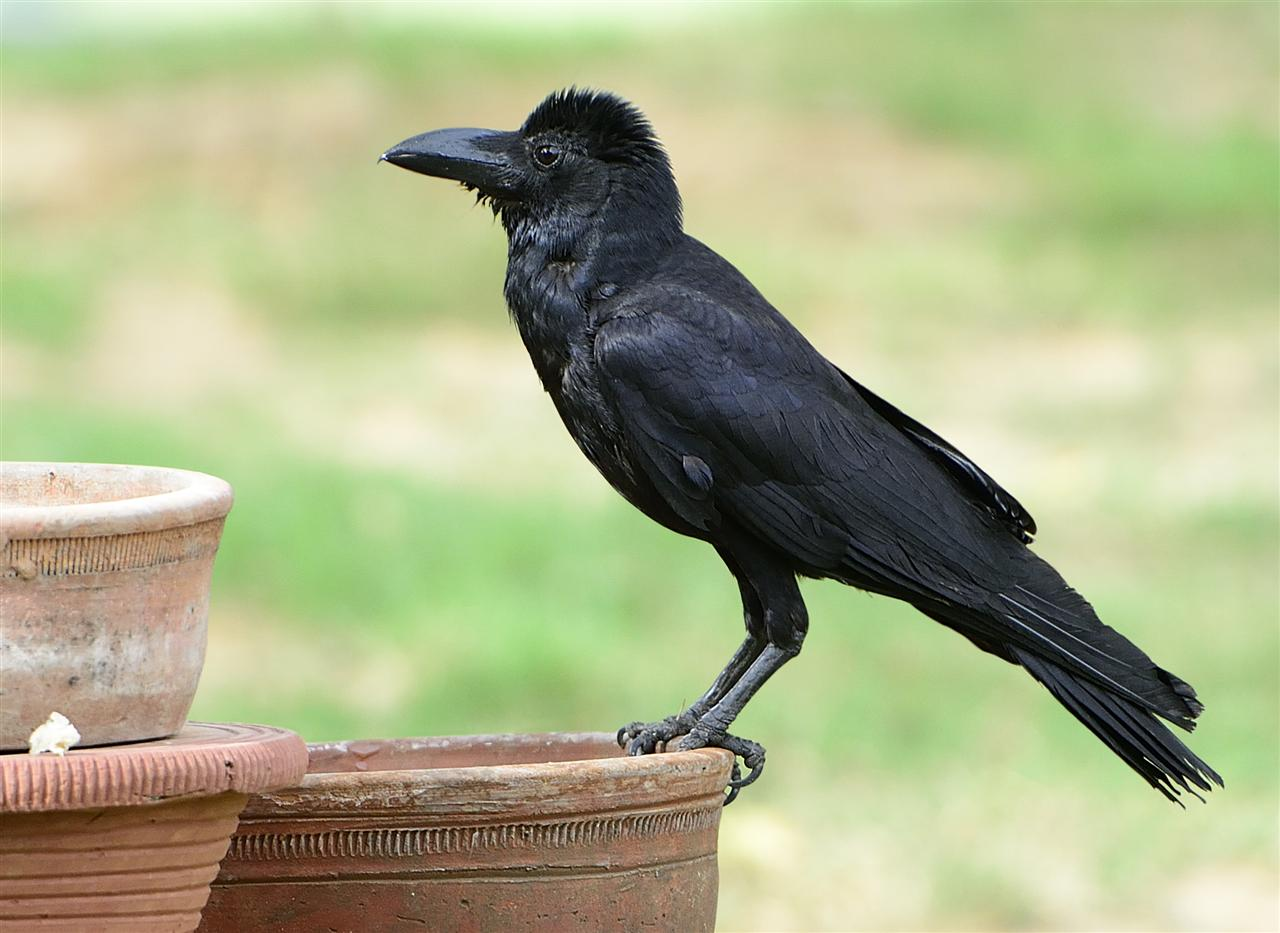 Although less common than the House Crow, they are common in the President's Estate.